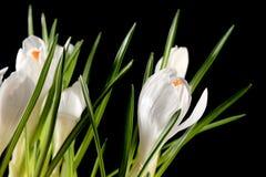 Crescimento dos açafrões brancos no fundo preto Fotografia de Stock