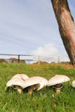 Crescimento dos cogumelos Fotos de Stock Royalty Free