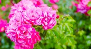Crescimento fresco cor-de-rosa em rosas do jardim Backgroun do dia de são valentim do amor Foto de Stock Royalty Free