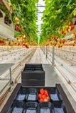 Crescimento industrial das morangos em uma estufa Fotografia de Stock