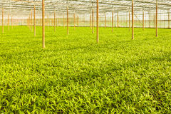 Crescimento industrial de espinafres da água Fotografia de Stock Royalty Free