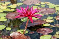 Crescimento na flor do lírio de água fotografia de stock