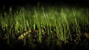 Crescimento novo da grama Foto de Stock