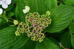 Crescimento novo de flores da planta da hortênsia Fotos de Stock Royalty Free