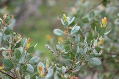 Crescimento novo de Manzanita Bush Imagem de Stock