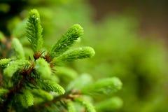 Crescimento novo em um abeto vermelho Fotografia de Stock