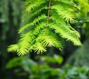 Crescimento novo na árvore da sequoia vermelha foto de stock