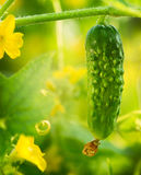 Crescimento orgânico do pepino Fotos de Stock Royalty Free