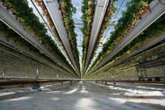 Crescimento orgânico saboroso da morango na estufa holandesa grande, everyda Fotos de Stock