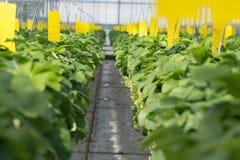 Crescimento orgânico saboroso da morango na estufa holandesa grande, everyda Fotografia de Stock Royalty Free