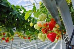 Crescimento orgânico saboroso da morango na estufa holandesa grande, everyda Foto de Stock Royalty Free