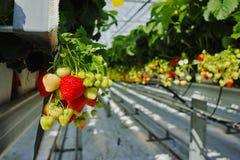 Crescimento orgânico saboroso da morango na estufa holandesa grande, everyda Imagens de Stock