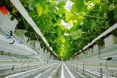 Crescimento orgânico saboroso da morango na estufa holandesa grande, everyda Imagem de Stock