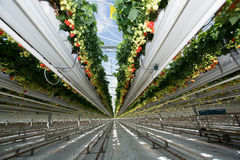 Crescimento orgânico saboroso da morango na estufa holandesa grande, everyda Fotos de Stock Royalty Free