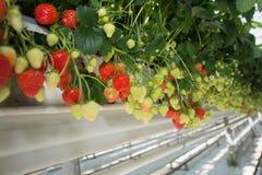 Crescimento orgânico saboroso da morango na estufa holandesa grande, everyda Fotografia de Stock