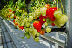 Crescimento orgânico saboroso da morango na estufa holandesa grande, everyda Imagens de Stock Royalty Free