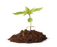 Crescimento pequeno do sprout do cânhamo fotos de stock royalty free