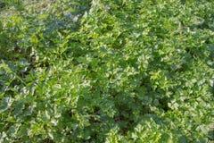 Crescimento salsa lisa ou Georgian no jardim: folhas verdes luxúrias bonitas da erva aromática Fotos de Stock Royalty Free