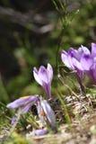 Crescimento sativus do açafrão na mola adiantada Foto de Stock Royalty Free