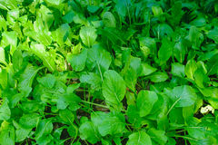 Crescimento vegetal no jardim Fotos de Stock