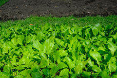 Crescimento vegetal no jardim com foco seletivo e fundo obscuro Fotografia de Stock