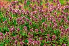 Crescimento vegetal pequeno colorido das molas adiantadas Foto de Stock Royalty Free
