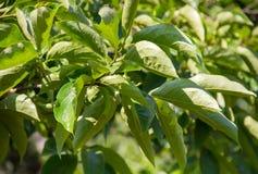 Crescimento verde novo dos caquis Fotografia de Stock