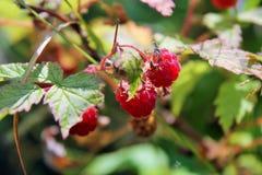 Crescimento vermelho vibrante das framboesas selvagens Foto de Stock