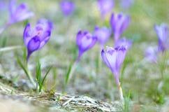 Crescimento violeta dos açafrões Imagem de Stock