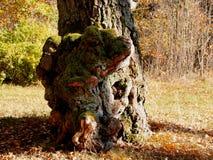 Crescimentos no tronco de um vidoeiro muito velho imagens de stock