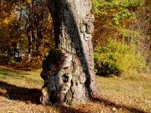 Crescimentos no tronco de um vidoeiro muito velho fotos de stock royalty free