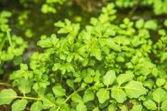 Crescione acquatico, nasturtium officinale immagine stock