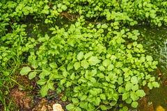 Crescione acquatico, nasturtium officinale immagini stock