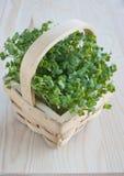Crescione, cibo sano, sorgente, tavolo da cucina. Immagini Stock
