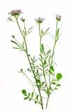 Crescione dei prati (pratensis del Cardamine) Immagini Stock