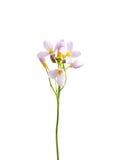Crescione dei prati (pratensis del Cardamine) Fotografie Stock Libere da Diritti