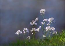 Crescione dei prati - pratensis del Cardamine fotografie stock