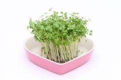 Crescione della senape dell'insalata Immagine Stock Libera da Diritti