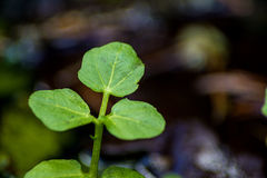 Crescione di acqua, officinale del nasturzio fotografia stock