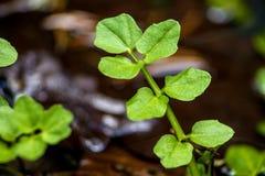 Crescione di acqua, officinale del nasturzio fotografie stock libere da diritti