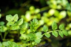 Crescione di acqua, officinale del nasturzio immagine stock