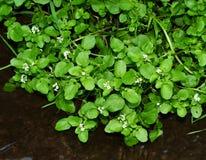 Crescione di fioritura fresco che cresce lungo una banca della corrente Fotografie Stock Libere da Diritti