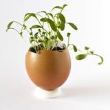Crescione di giardino che cresce nelle coperture vuote dell'uovo Fotografie Stock Libere da Diritti