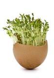 Crescione di giardino e dei gusci d'uovo Immagine Stock