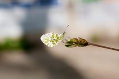 Crescione di Whitey della farfalla (cardamines di Anthocharis) Fotografia Stock Libera da Diritti