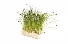 Crescione fresco della erba cipollina della bio- roccia immagine stock libera da diritti