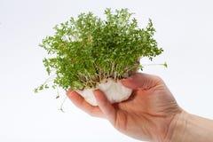 Crescione fresco nella mano Fotografia Stock