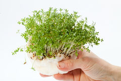 Crescione fresco nella mano Immagine Stock Libera da Diritti