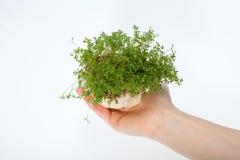 Crescione fresco nella mano Immagine Stock