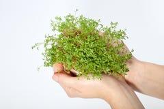 Crescione fresco nella mano Fotografie Stock